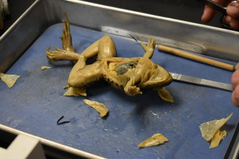SLHS students participate in frog dissection