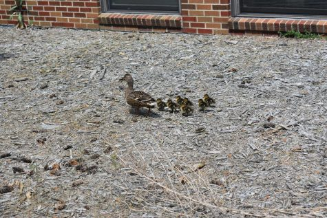 A mother duck and her ducklings waddle their way around the courtyard